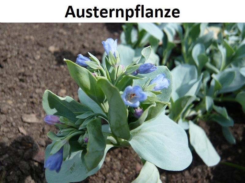 Austernpflanze