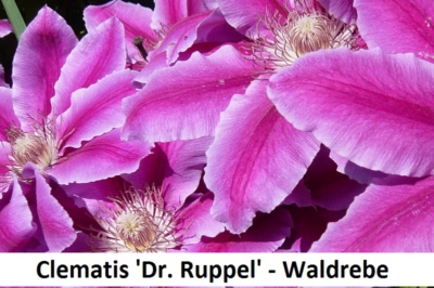 Clematis Dr. Ruppel