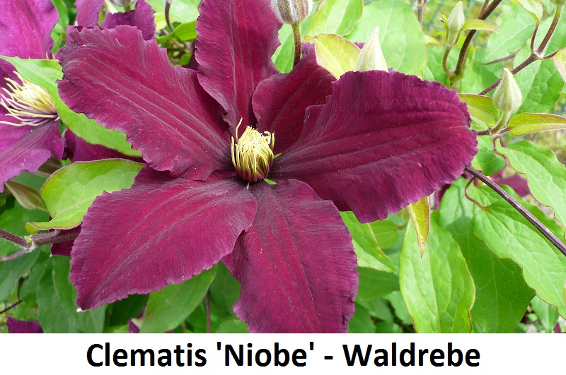 Clematis Niobe