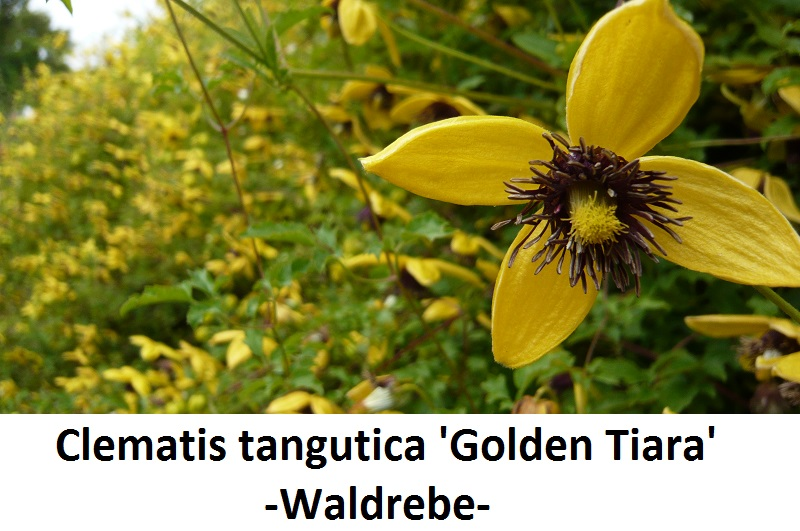 Clematis tangutica Golden Tiara