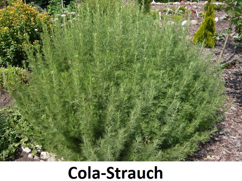 Cola-Strauch