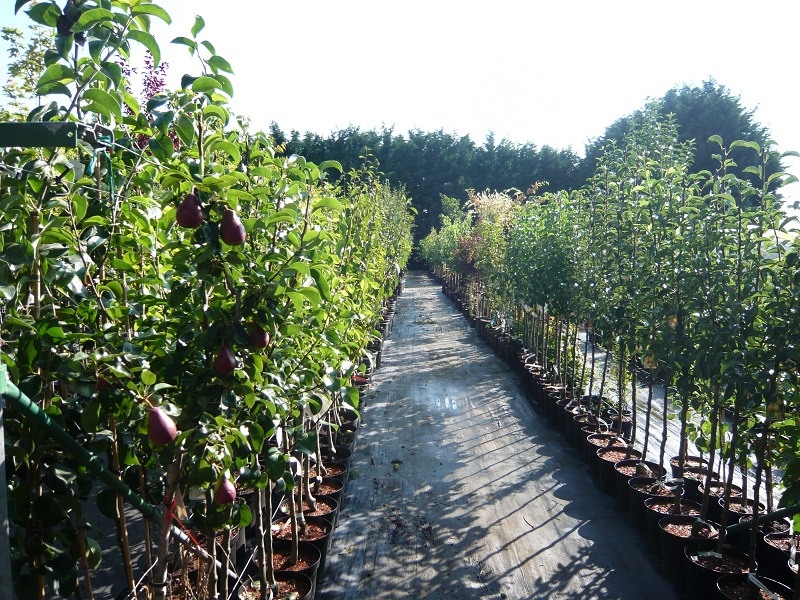 Obstbäume im Topf