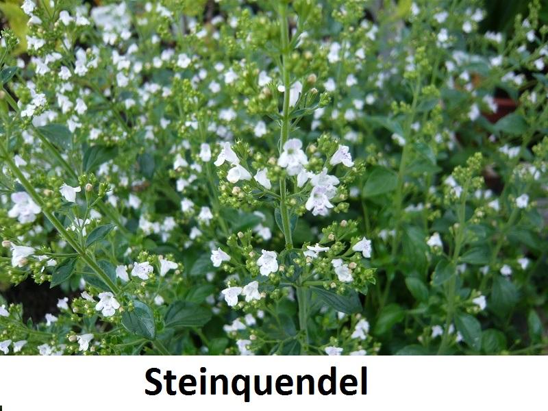 Steinquendel