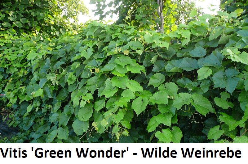 Vitis Green Wonder