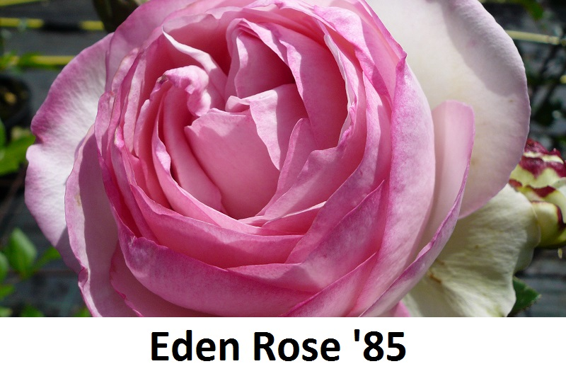 Eden Rose '85