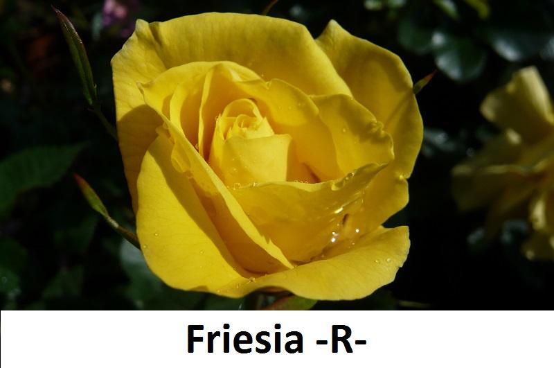 Friesia-R-