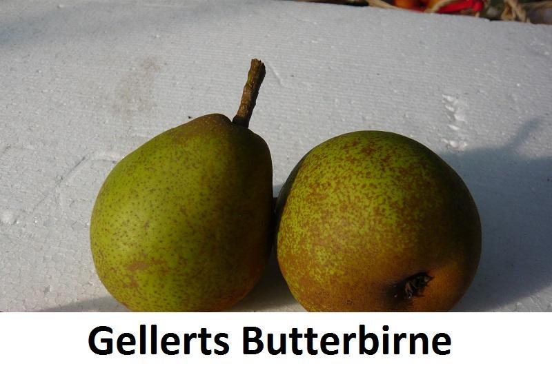Gellerts Butterbirne