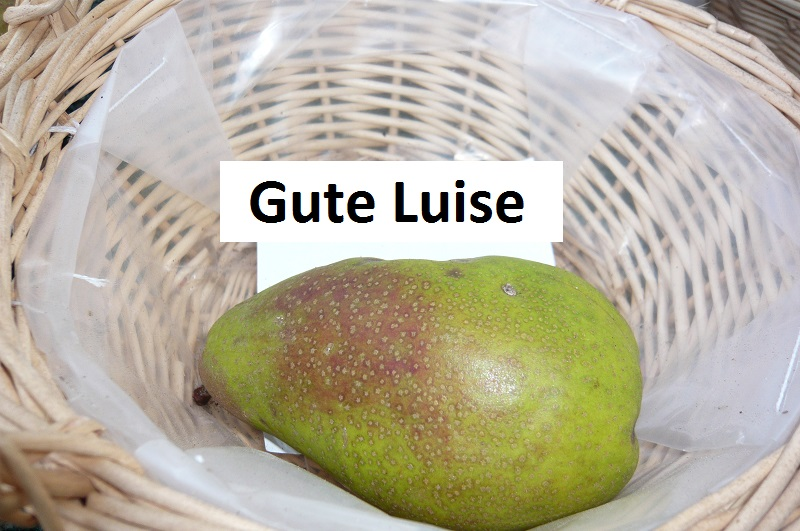 Gute Luise
