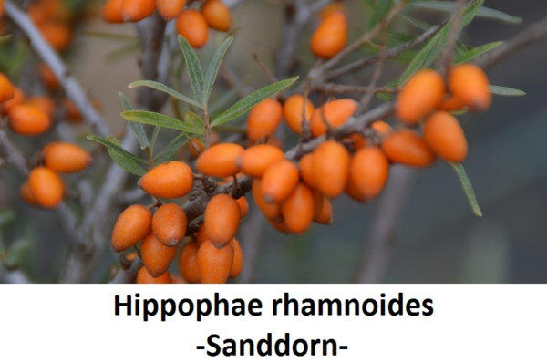 Hippophae rhamnoides