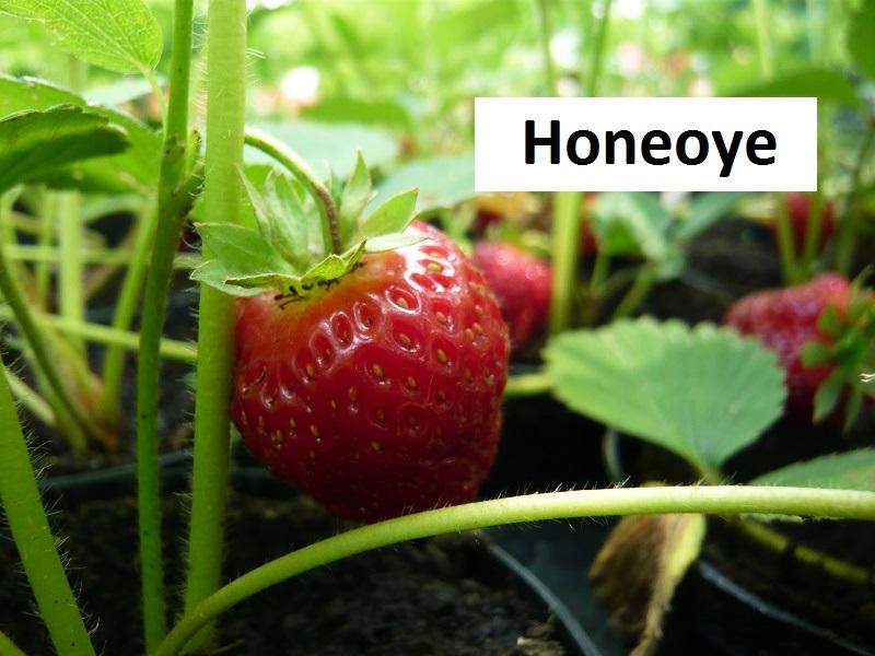 Honeoye