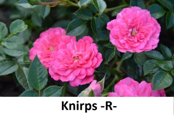 Knirps