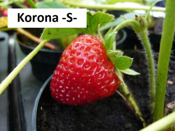 Korona-S-