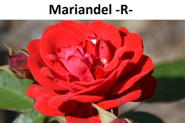 Mariandel