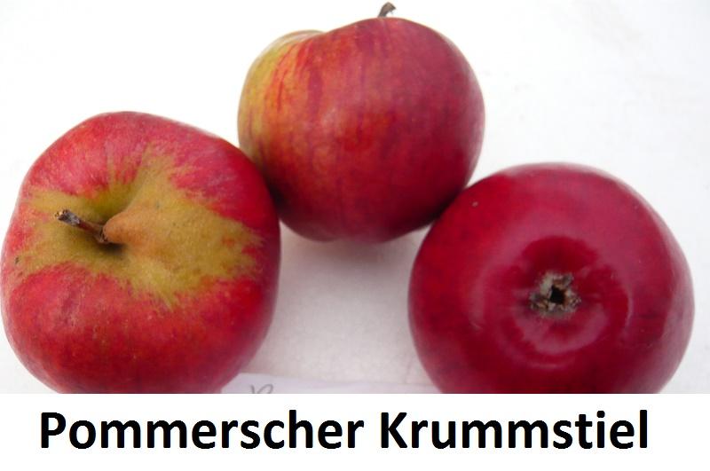 Pommerscher Krummstiel