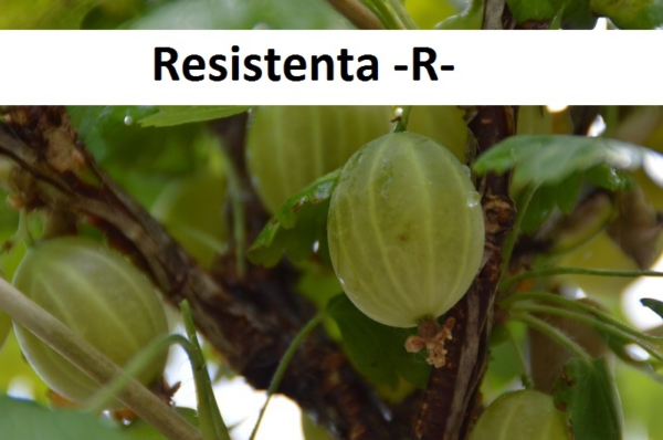 Resistenta -R-