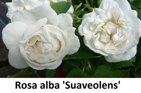 Rosa alba Suaveolens