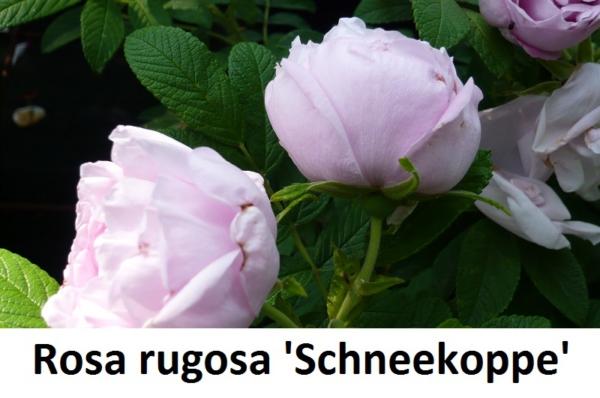 Rosa rugosa Schneekoppe