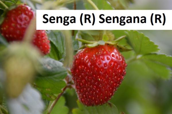 Senga (R) Sengana (R)