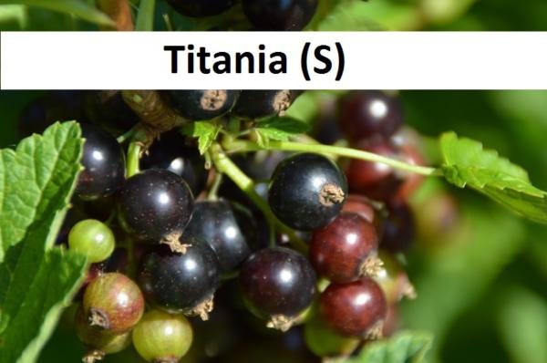 Titania(S)