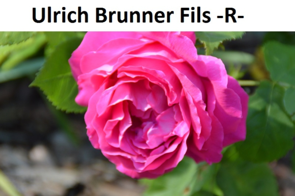 Ulrich Brunner Fils