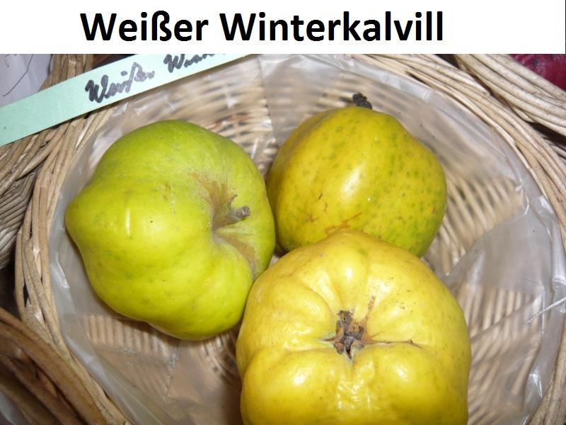 Weißer Winterkalvill