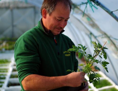Tomatenpflanzen aus eigener Produktion in 80 Sorten – 2. Aussaatsatz