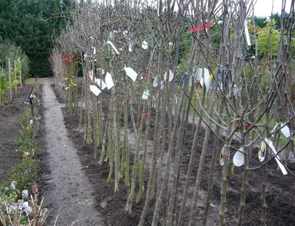 Freilandobstbäume – Rosen und Beerenobststräucher als Wurzelware – Apfelverkauf