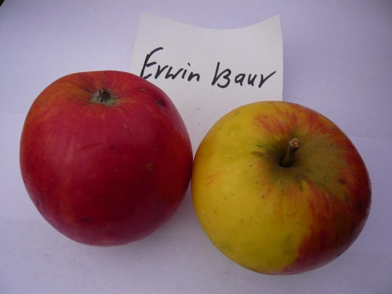 Erwin Baur
