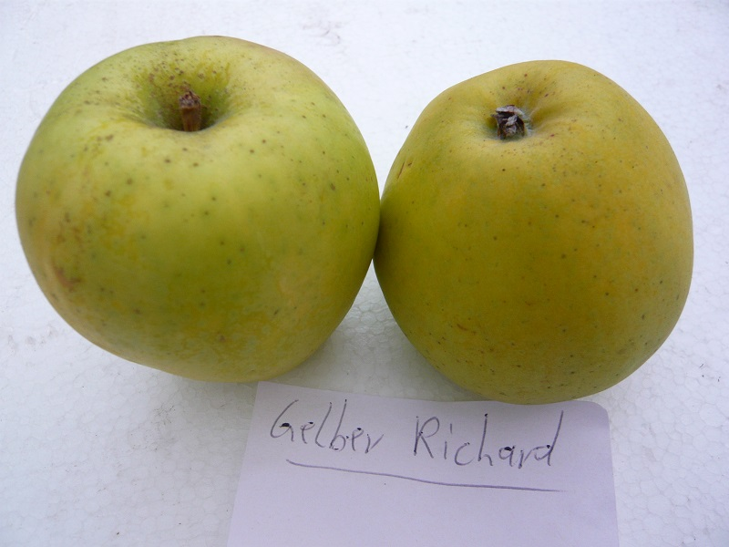 Gelber Richard