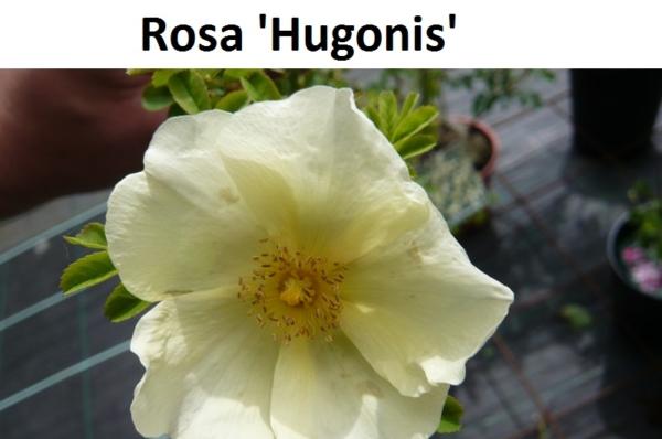 Hugonis