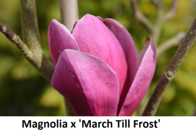 Magnolia x March Till Frost