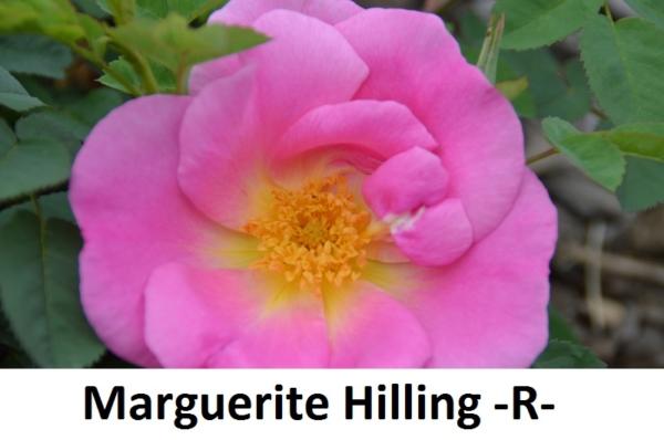 Marguerite Hilling