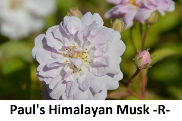 Pauls Himalayan Musk