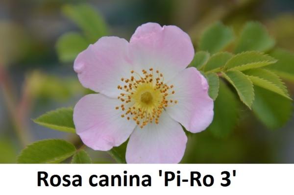 Rosa canina Pi-Ro 3