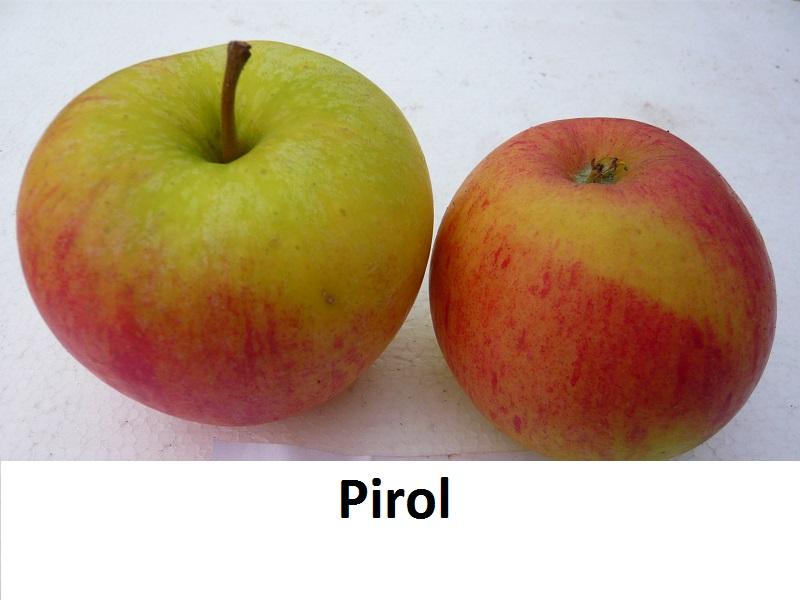 Pirol