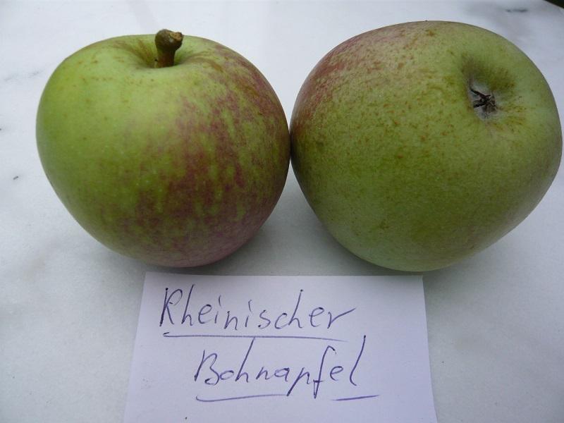 Rheinischer Bohnapfel