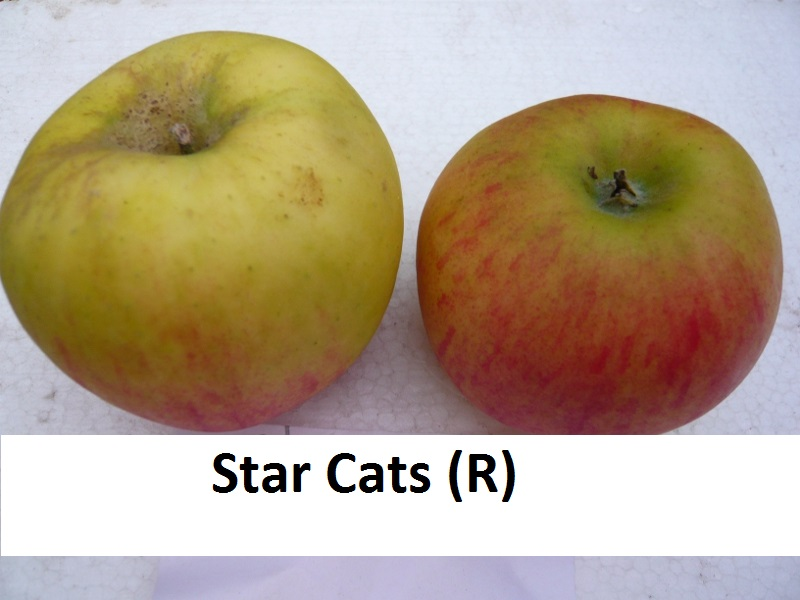 Star Cats (R)