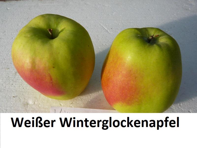 Weißer Winterglockenapfel