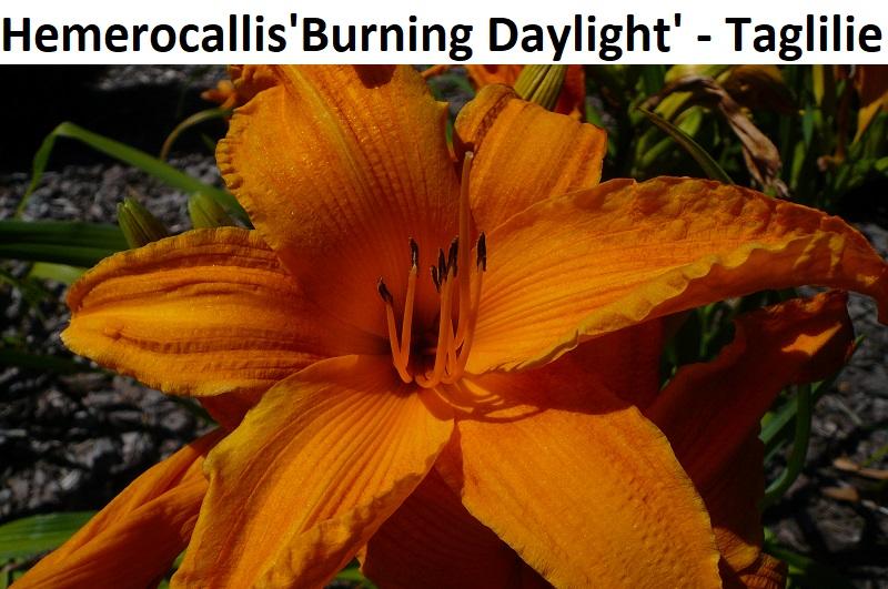 Hemerocallis x Burning Daylight