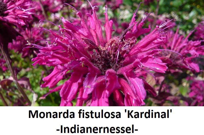 Monarda x Kardinal