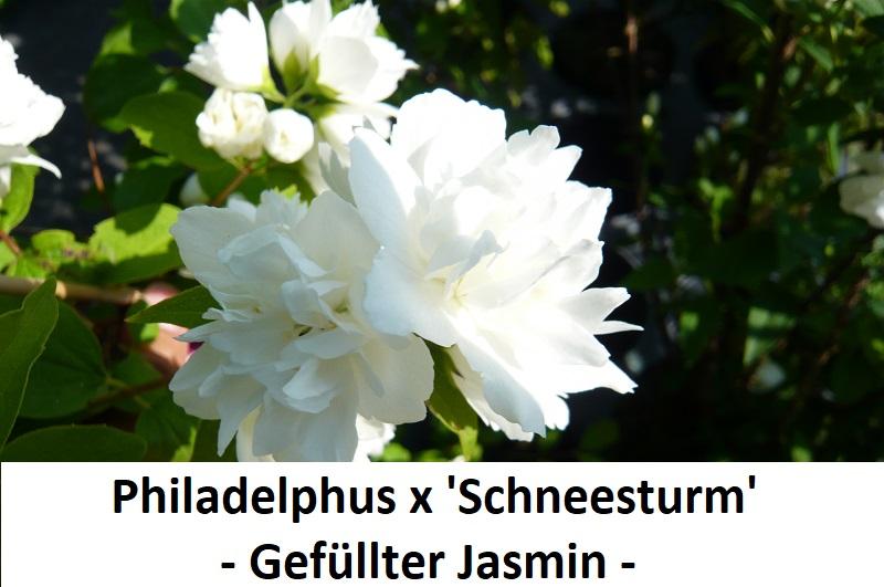 Philadelphus x Schneestrum