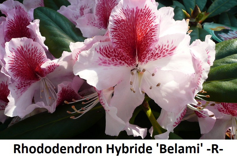 Rhododendron Hybride Belami