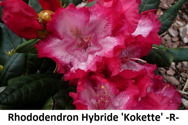 Rhododendron Hybride Kokette