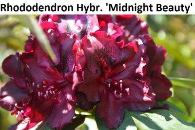 Rhododendron Hybride Midnight Beauty