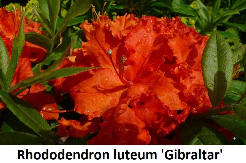 Rhododendron luteum Gibraltar