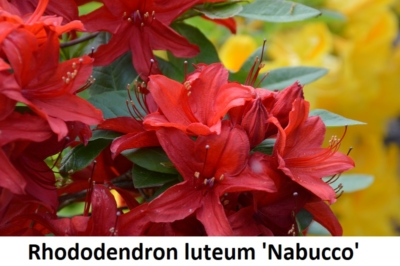Rhododendron luteum Nabucco