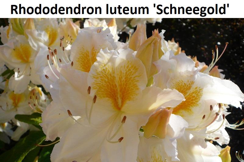 Rhododendron luteum Schneegold
