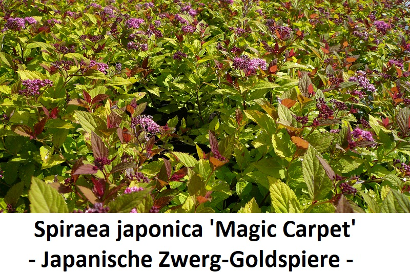 Spiraea japonica Magic Carpet