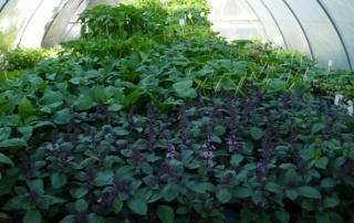 Gemüsepflanzen und Kräuter
