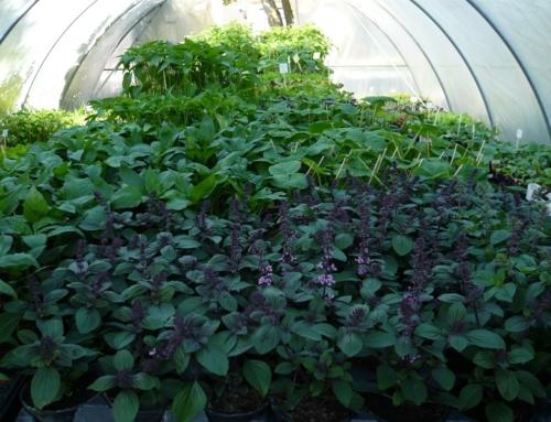 Gemüsepflanzen für das Freiland/Tipps zur Pflanzung und Pflege von Tomatenstauden